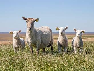羊 SUNRISE 2号店 鉄板焼ブランド